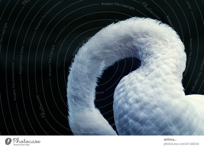 The shy model with the gooseneck Swan Neck White flexed Elegant waterfowl Copy Space Animal Neutral background