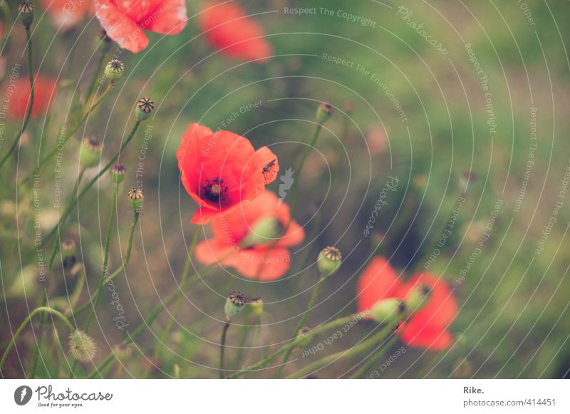 Simple beauty. Garden Environment Nature Plant Summer Blossom Wild plant Poppy Poppy blossom Field Fly Blossoming Growth Esthetic Natural Beautiful Soft Green