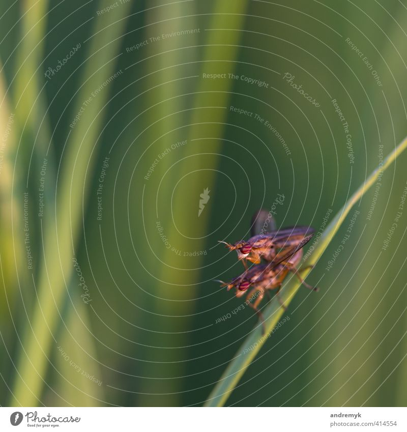 outdoor sex Joy Nature Animal Summer Grass Meadow Fly Insect 2 Pair of animals Love Sex Green Red Colour photo Exterior shot Macro (Extreme close-up) Evening