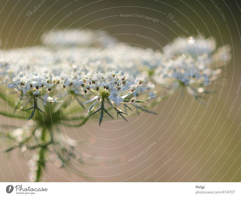 birthday flower... Environment Nature Plant Drops of water Summer Beautiful weather Flower Blossom Wild plant Meadow Blossoming Glittering Growth Esthetic Wet