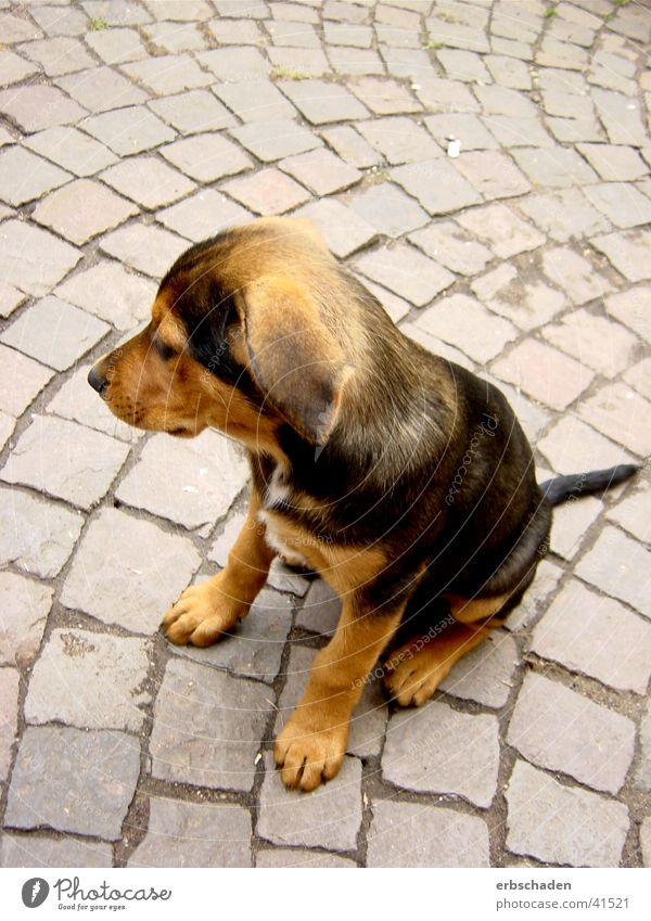 dog puppy Dog Puppy Cute Pelt Brown Summer canis carnivora Farm Exterior shot
