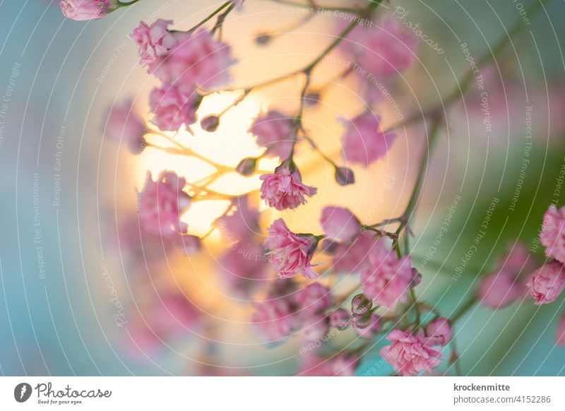 Gypsophila with pink flowers in the sunlight Baby's-breath Flower Bouquet Decoration Pink Colour photo Plant Mother's Day Blossom Nature Valentine's Day