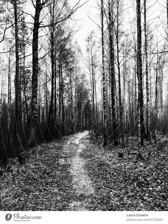 Path in the birch forest Birch Birch tree Birch wood Tree path lonely lonely path Autumn walk away on the walk autumn mood Black & white photo Forest