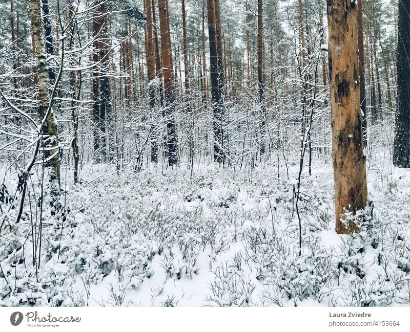 That cold and snowy day in the forest Forest Snow Winter forest Winter mood Winter's day Cold Tree Frost Snow layer trees winter landscape White Nature Calm