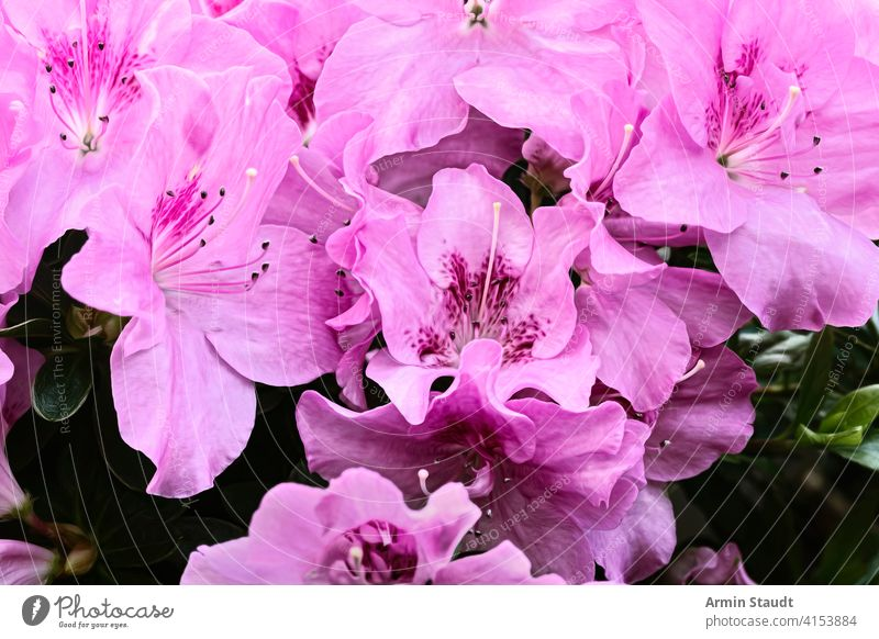close up of some pink lilies background beautiful beauty blossom blumenstrauß bouquet bright calla celebration close-up decorative dynamic floral flower fresh