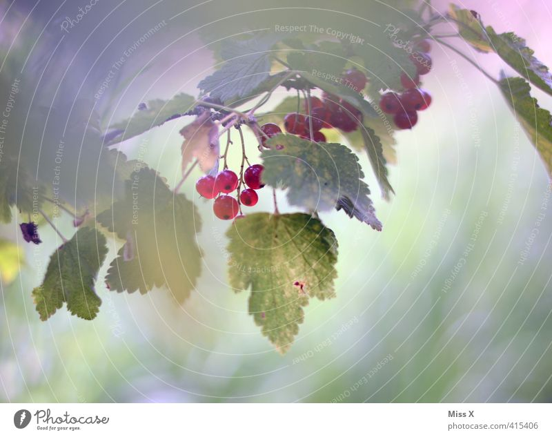 Plant Summer Red Healthy Garden Food Fruit Fresh Bushes Nutrition Sweet Branch Harvest Delicious Twig Organic produce