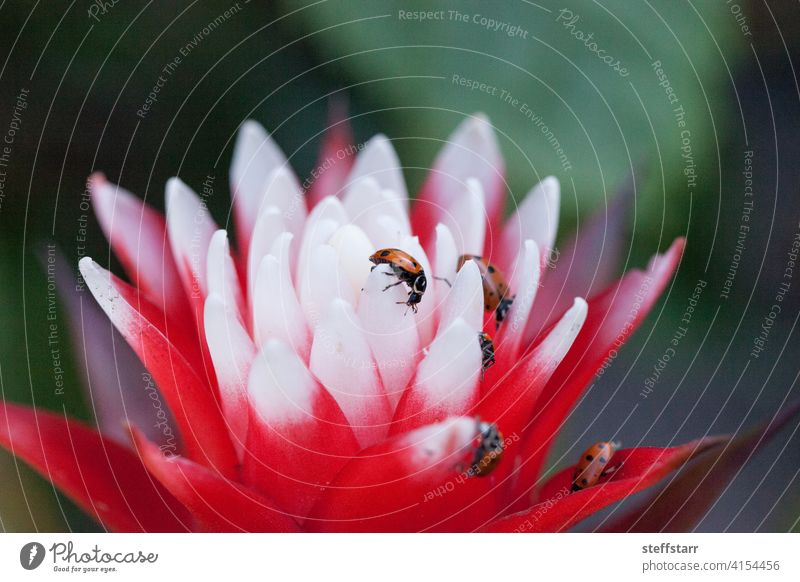 Red and white bromeliad flower with a Convergent lady beetle Ladybug convergent lady beetle Hippodamia convergens insect red black dots red ladybug wildlife