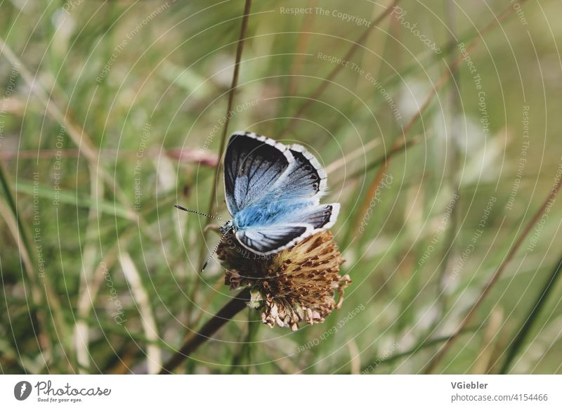 blue butterfly sits on faded flower in the background grass can be seen blurred. Butterfly Blue Nature Insect Plant Animal Flower withered Grass Green Feeler