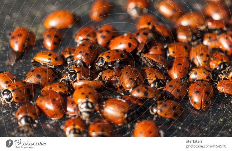 Hibernating cluster of Convergent lady beetle Ladybug convergent lady beetle Hippodamia convergens insect red black dots red ladybug wildlife nature hibernation