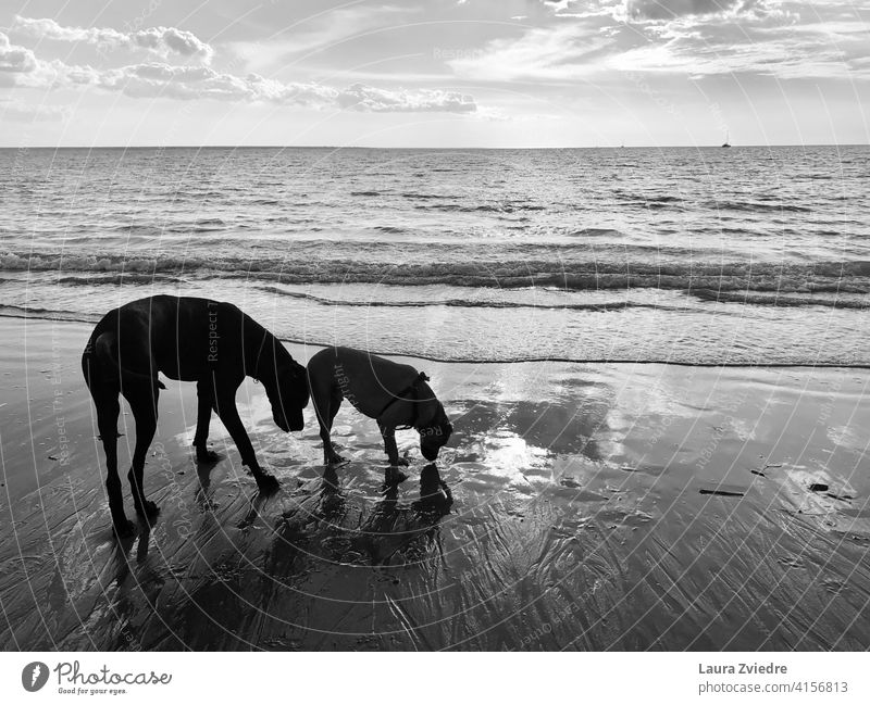 Dogs on the beach enjoying walk dogs breed of dog breed dog family dog Beach Animal Dog walk Great Dane Animal portrait Sniff sniffing dog sniffing shadows
