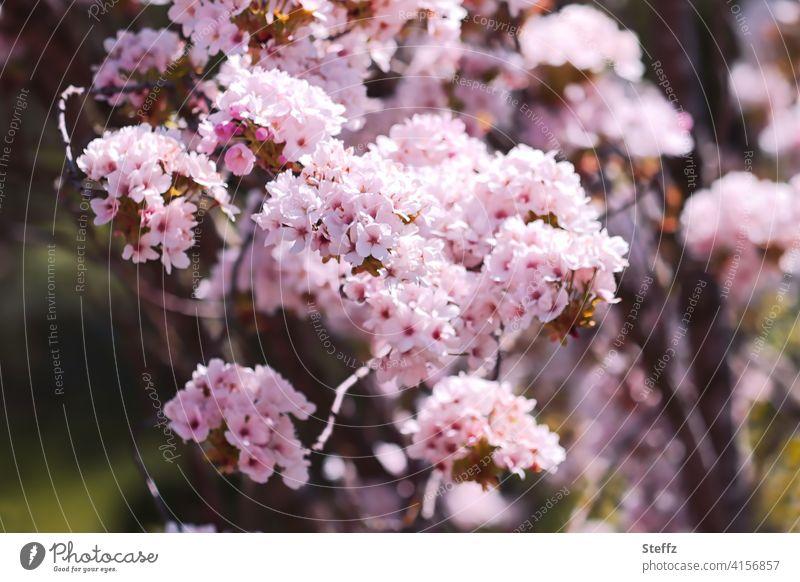 Ornamental cherry in full bloom Pillar Cherry flowering cherry prunus heyday April cherry blossoms Cherry tree spring awakening sea of blossoms blossoming
