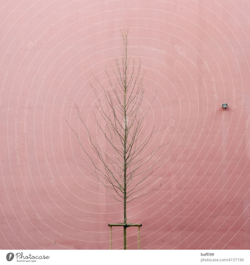 a bare young tree with timid buds in front of a pink wall with spotlight - urban springtime Spring bare tree bare trees Minimalistic Pink Branches and twigs