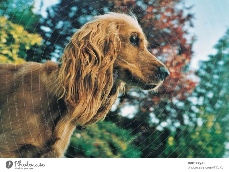 Noras Profile Cocker Spaniel Silhouette Dog Brown Tree Autumn Safety Beautiful Cute Mammal Sky Looking