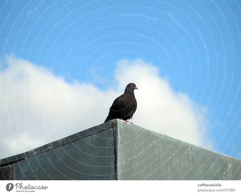 Sky White Blue House (Residential Structure) Black Clouds Animal Gray Bird Might Roof Pigeon