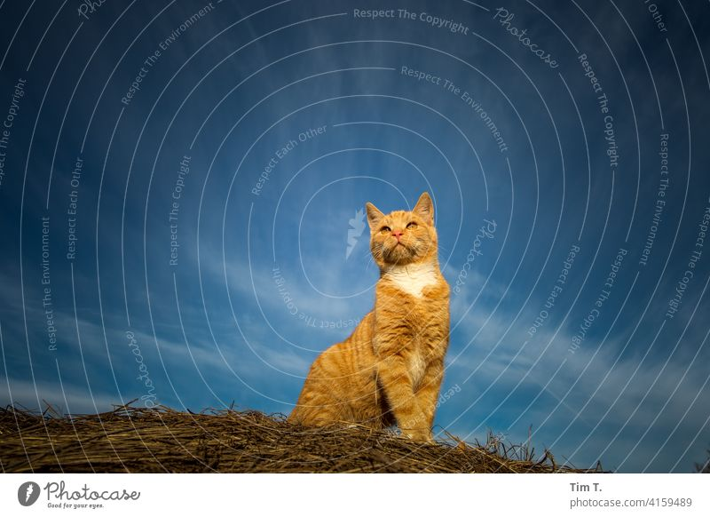 a red tomcat on a hay bale with blue sky hangover Cat Red Sky rudi Animal Pet freigänger Animal face Cat's head Whisker Cute Observe Cuddly Colour photo