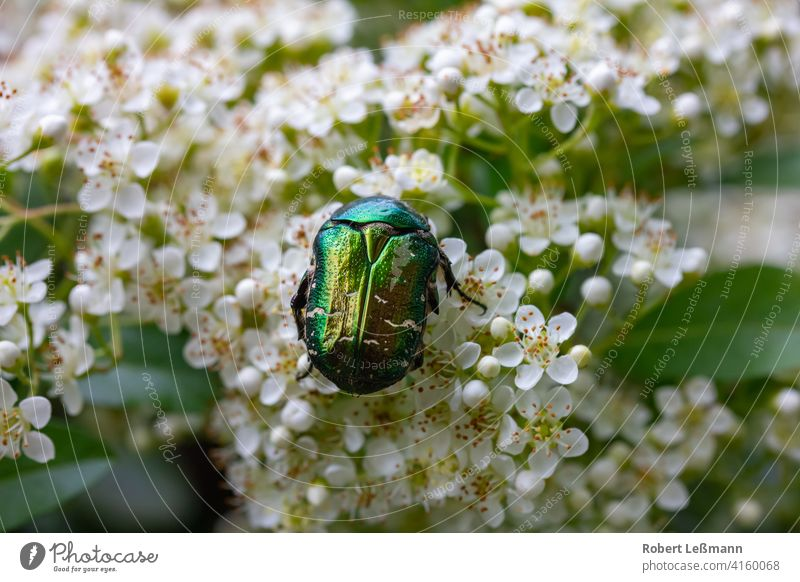 a rosebug on white cherry blossoms Rose beetle Pollen Flower Cherry blossom Blossom White die of insects Honey pollen pollination glyphosate Insect macro Spring