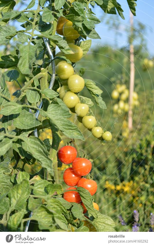 green, yellow, red | tomatoes in different degrees of ripeness Tomato tomato plant Mature Immature Tire Plant wax Garden Gardening do gardening Vegetable