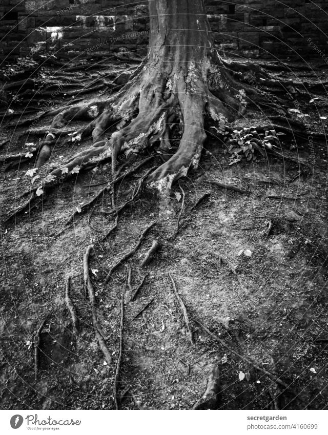 No ticky, no washy. roots Tree Old Ground Earth Park Black & white photo Contrast Tree trunk take root Plant Growth Nature Forest Exterior shot Deserted
