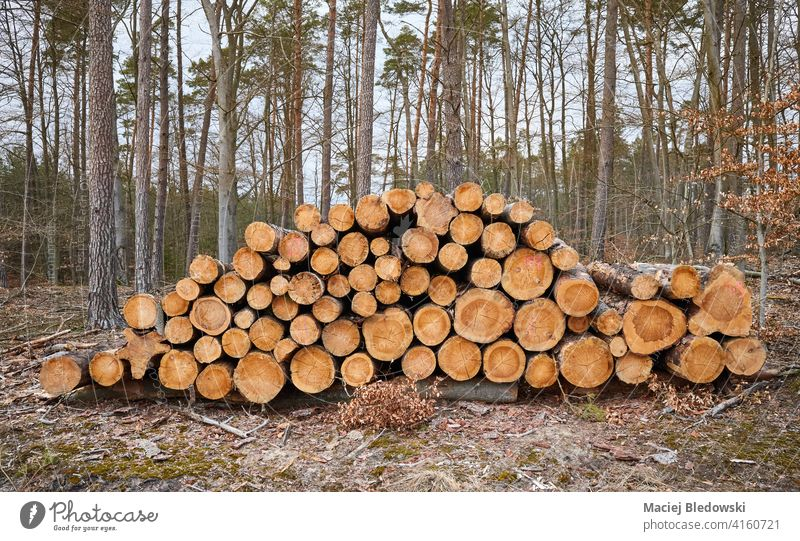 Felled pine tree logs in a forest. logging deforestation nature forestry trunk industry wood felled natural cut pile environment stack timber lumber material