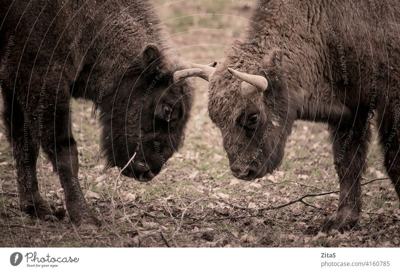 Two bisons facing each other in the nature animal wildlife horn horns head herbivore cow mammal zoology face off