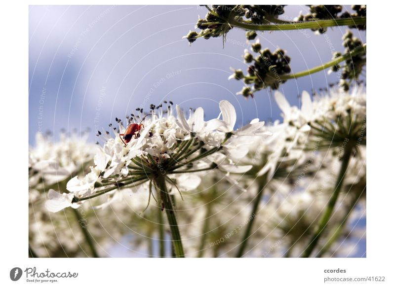 close-up Flower Insect White Plant Beetle Sky Close-up Nature Blue gift of sheep Macro (Extreme close-up) Exterior shot