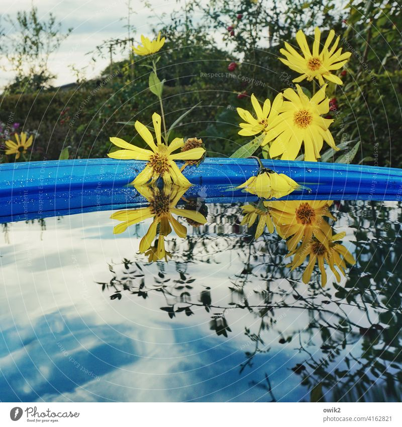 aquatic plants water heater Blossom Blossoming Water reflection Many Yellow marguerites flowers Surface of water Horticulture Plant Beautiful weather Nature