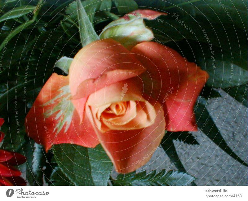rose Rose Flower Fragrant rosy