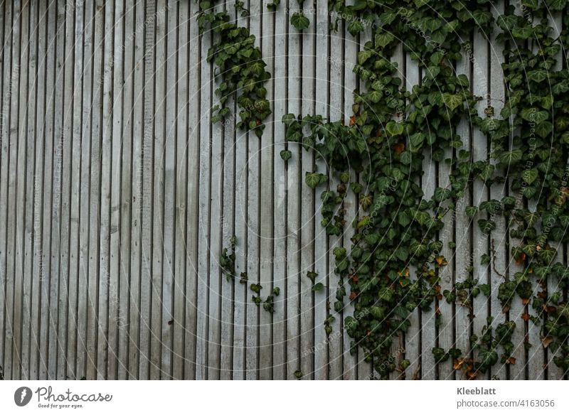 Grey mottled wooden slatted wall through which the ivy is growing - slightly slanted view Wooden slatted wall, natural wood Wood grain Old Colour photo