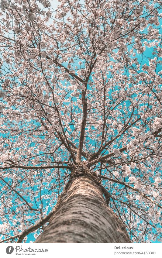 A beautiful cherry blossom tree with perspective from the bottom tree trunk, blue sky wooden sakura japanese flower flowers tradition sping springtime season