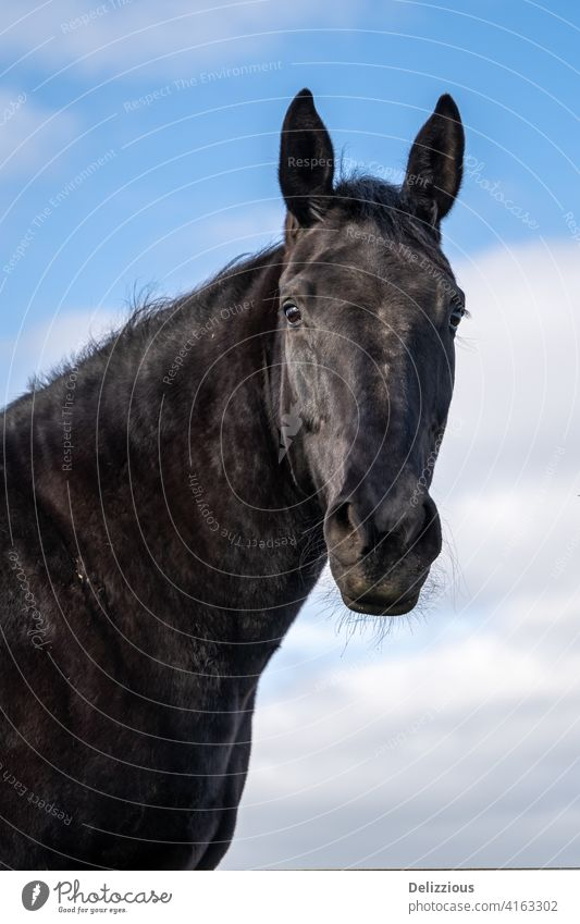 A portrait of a black horse with blue sky with clouds, isolated closeup animal black beauty beautiful nature fast horse mammal farm animal purebred country