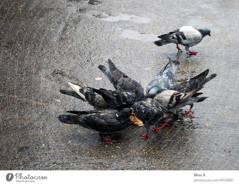 dove Illness Animal Bird Pigeon Group of animals Flock To feed Feeding Dirty street pigeon Pests pigeon plague Plagues Colour photo Subdued colour Exterior shot