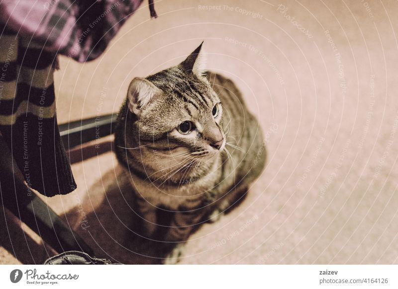 tabby and domestic cat in the interior of a room of a home resting without people unusual angle beautiful background closeup animal cute house calm beauty macro