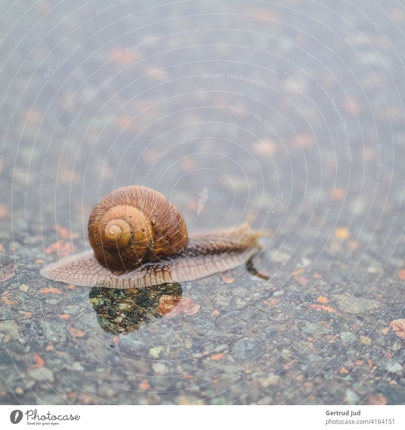 Little snail crosses the road in the rain Landscape Rainy weather Animal Wet Bad weather Weather Water Exterior shot Colour photo Nature Deserted Day Reflection