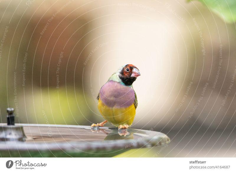 Lady Gouldian Finch bird Erythrura gouldiae in a water fountain bird bath Water fountain birdbath Bird finch colorful Gouldian finch lady Gouldian finch