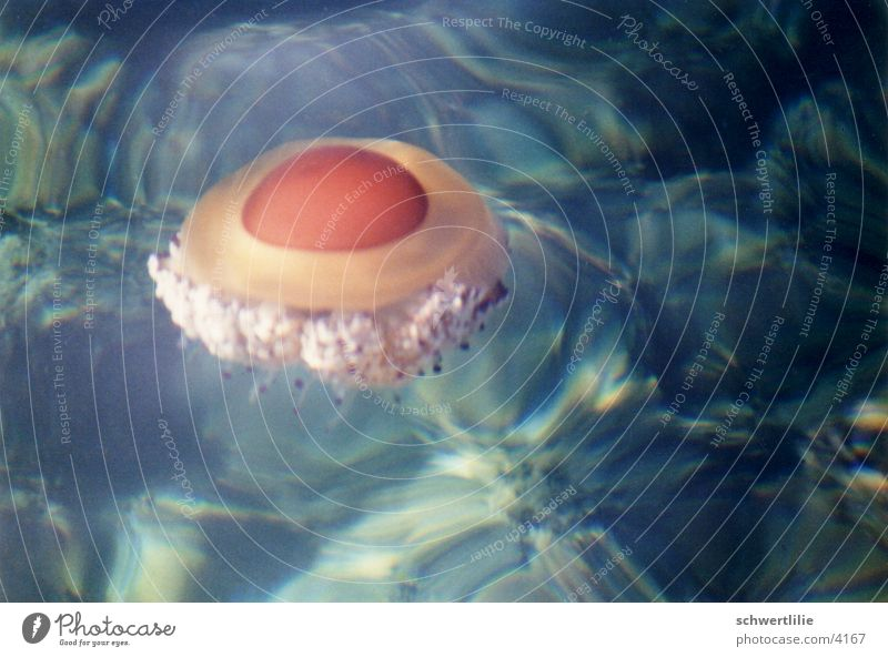 Jellyfish or fried egg Ocean Water surface absorption