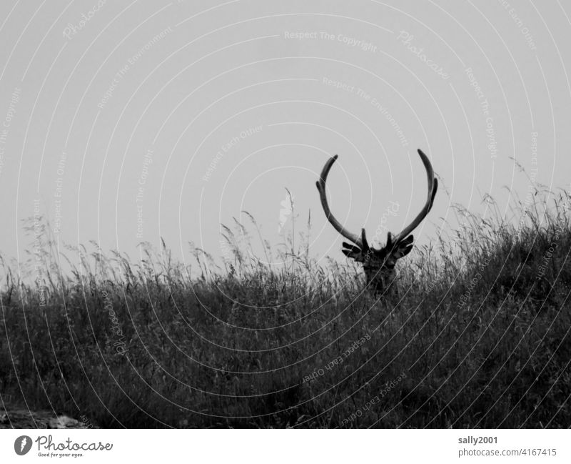 proud stag lies in high grass antlers Wild Grass Meadow Pride Wild animal Animal Overview Observe pretty Looking Strong Impressive strength Nature Exterior shot