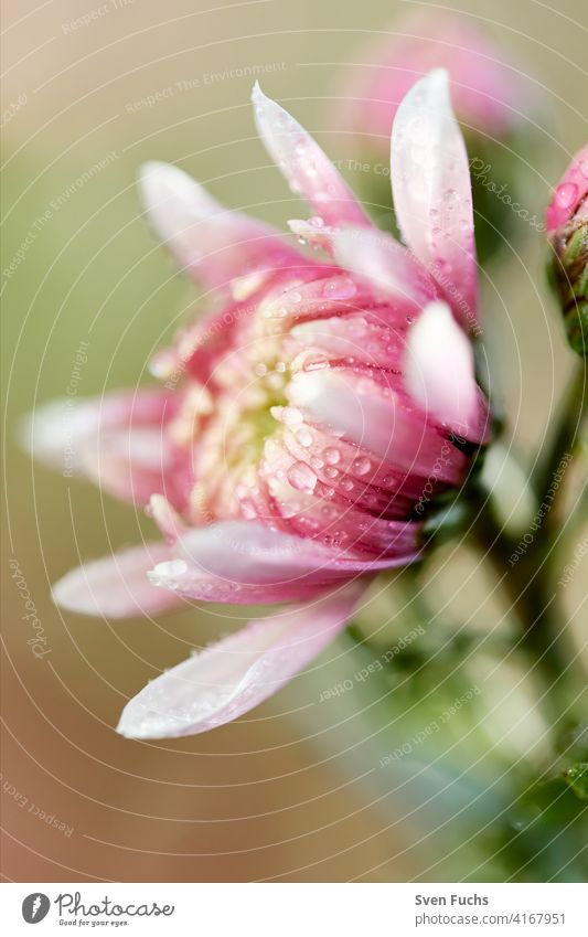 Flowers with their delicate blossoms in spring. Blossom bee-friendly wild flowers Meadow raindrops untreated organic Garden Pink Illuminate macro Close-up