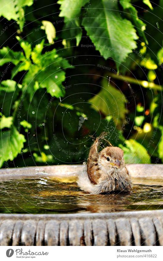 Little swan Environment Animal Beautiful weather Garden Bird Swan 1 Baby animal Water Swimming & Bathing Cute Brown Gray Green Sparrow Joy Colour photo