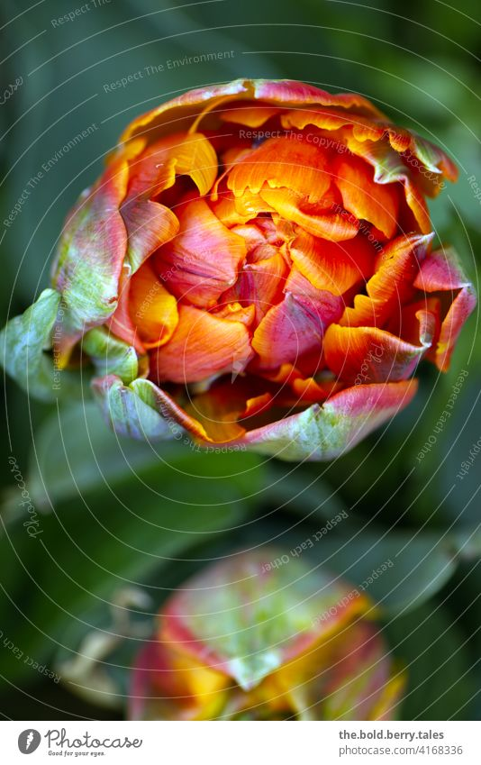 Tulip flower from above orange-red Flower Blossom Spring Green Red Orange Nature Colour photo Blossoming Plant Day Exterior shot Close-up Illuminate