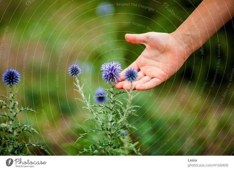 The smell of a flower. Nature spring flowers green grass green fields near the sea on the cliff flowers grow Palm tree flowers on the palm thorns Touch Hand