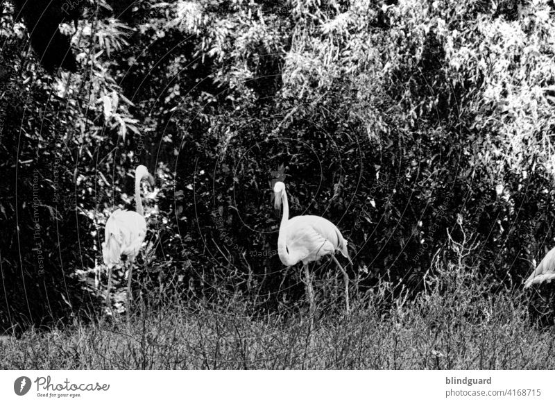 Pink in black and white Flamingo birds Bird Colour photo Exterior shot Nature Animal Wild animal Exotic Feather Day Beak Deserted Grand piano Zoo Contrast