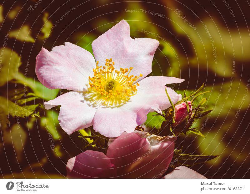 Pink Eglantine beautiful beauty blooming blossom branch briar briar rose brier brier rose bush canina close closeup dog-rose eglantine floral flower flowers