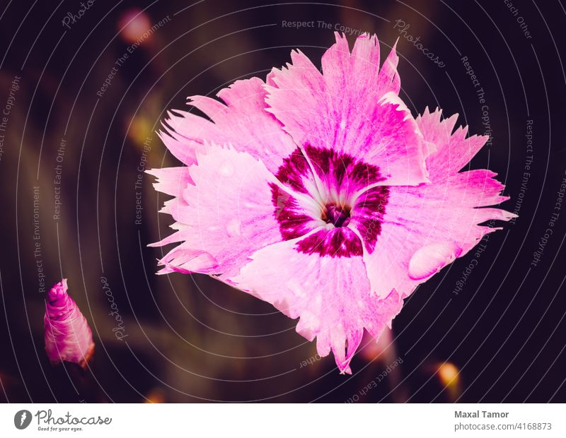 Pink Dianthus angiosperms background beautiful beauty blossom caryophyllaceae caryophyllales chinensis closeup colorful core eudicots dianthus flora floral