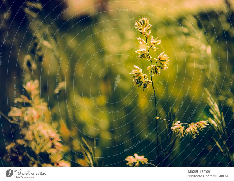 Gramineae herbs in the Meadow background field flora gramineae grass herbaceous lawn light meadow natural nature plant poaceae season spring summer sun sunrise