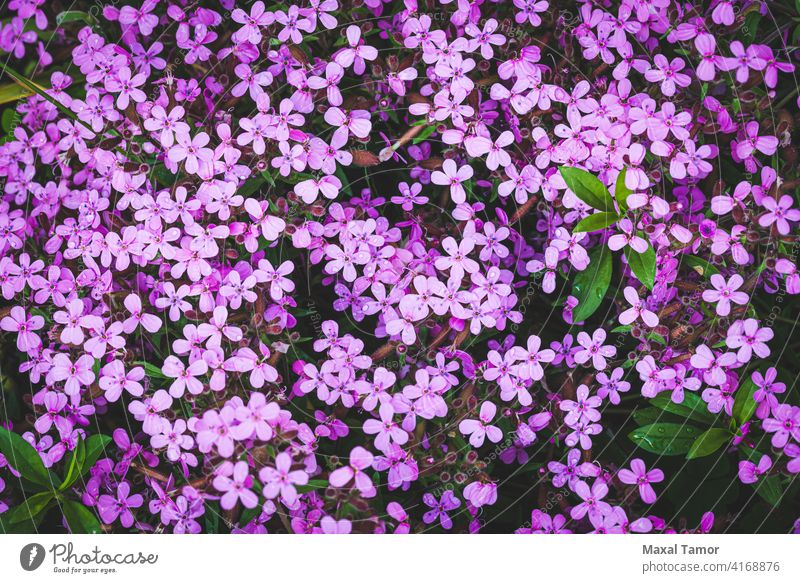 Gypsophila angiosperms background beauty bloom blooming blossom carpet caryophyllaceae caryophyllales closeup core eudicots decoration elegant flora flower