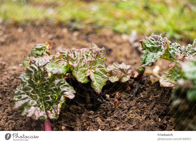 Rhubarb in growth with curled leaves on dry soil Vegetable Green Food Nutrition Vegetarian diet Healthy Eating Fresh Garden Colour photo salubriously naturally
