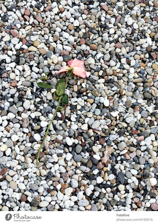 A wilting rose lies on countless stones. pink Flower naturally Pink Plant Blossom Colour photo Nature Exterior shot Deserted Close-up Day Green Detail fading