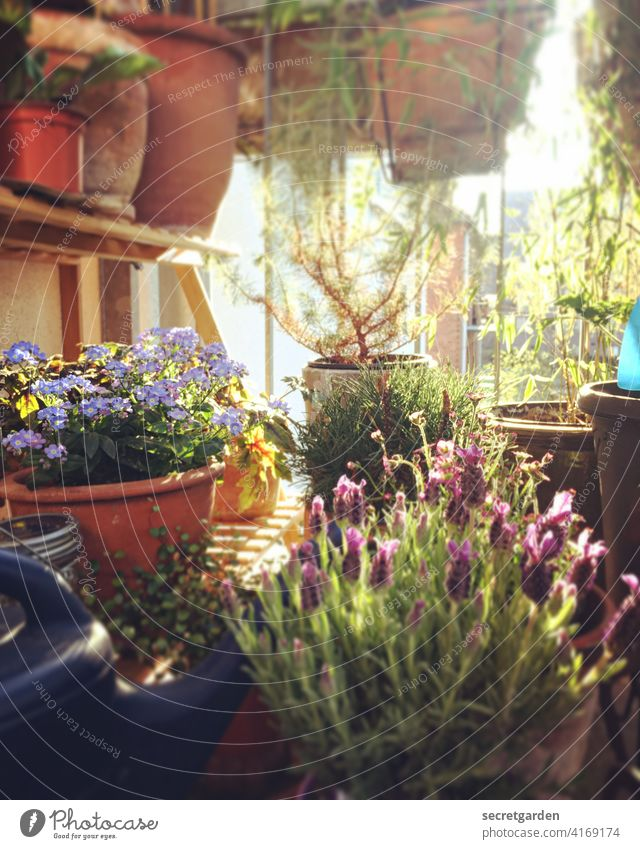 """""""Lavender - Don't forget mine"""" said the cedar. naturally Balcony plant Agricultural crop Brown Pot plant do gardening Diligent overflow Spring Full Broom"""