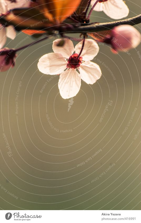 The other side. Plant Spring Tree Leaf Blossom Observe Blossoming Brown Green Pink Red White Spring fever Romance Beginning Nature Cherry tree Cherry blossom