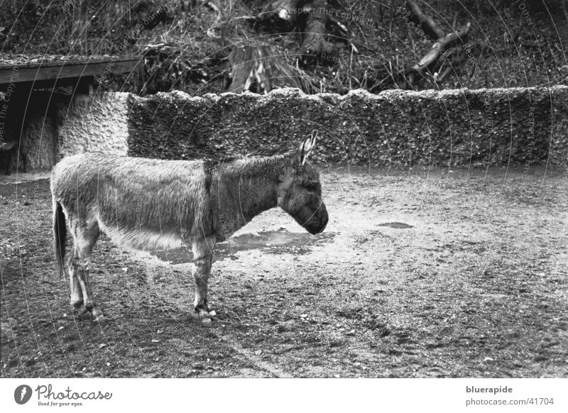 wet donkey Gray Zoo Wet Pet Grief Animal Loneliness Enclosure Captured Wall (barrier) Pelt Hoof House (Residential Structure) Puddle Rain Black & white photo